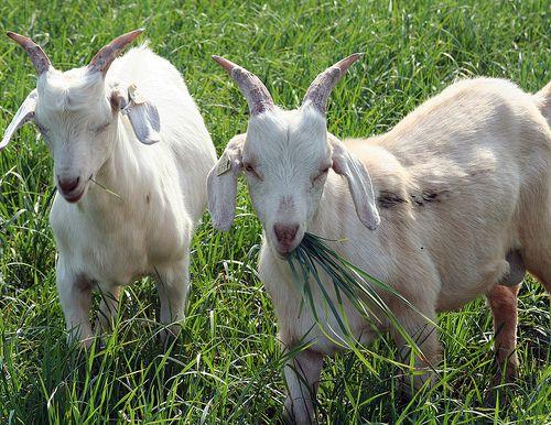 Козы обожают луговые травы