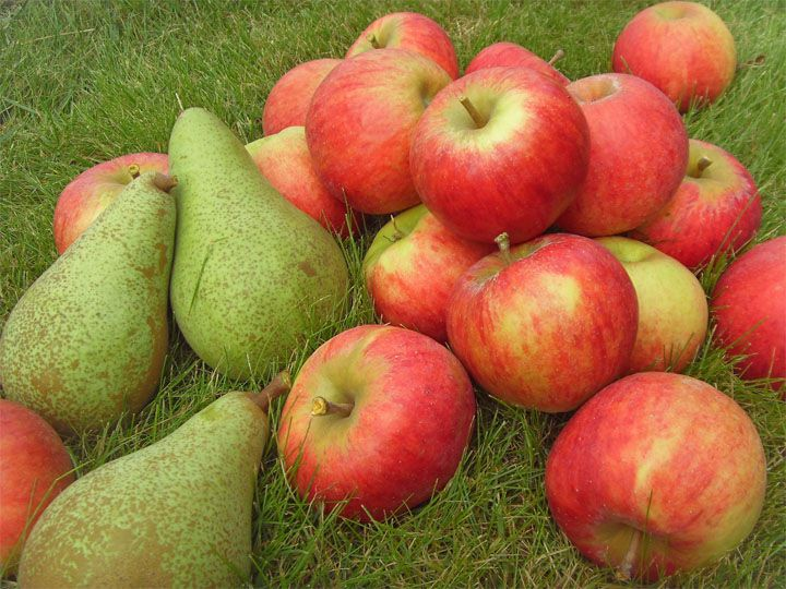 Иногда кроликам можно давать яблоки и груши