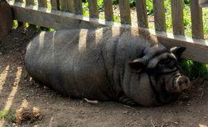Многие до сих пор полагают, что хряк и боров — это одинаковые по своим характеристикам самцы свиньи