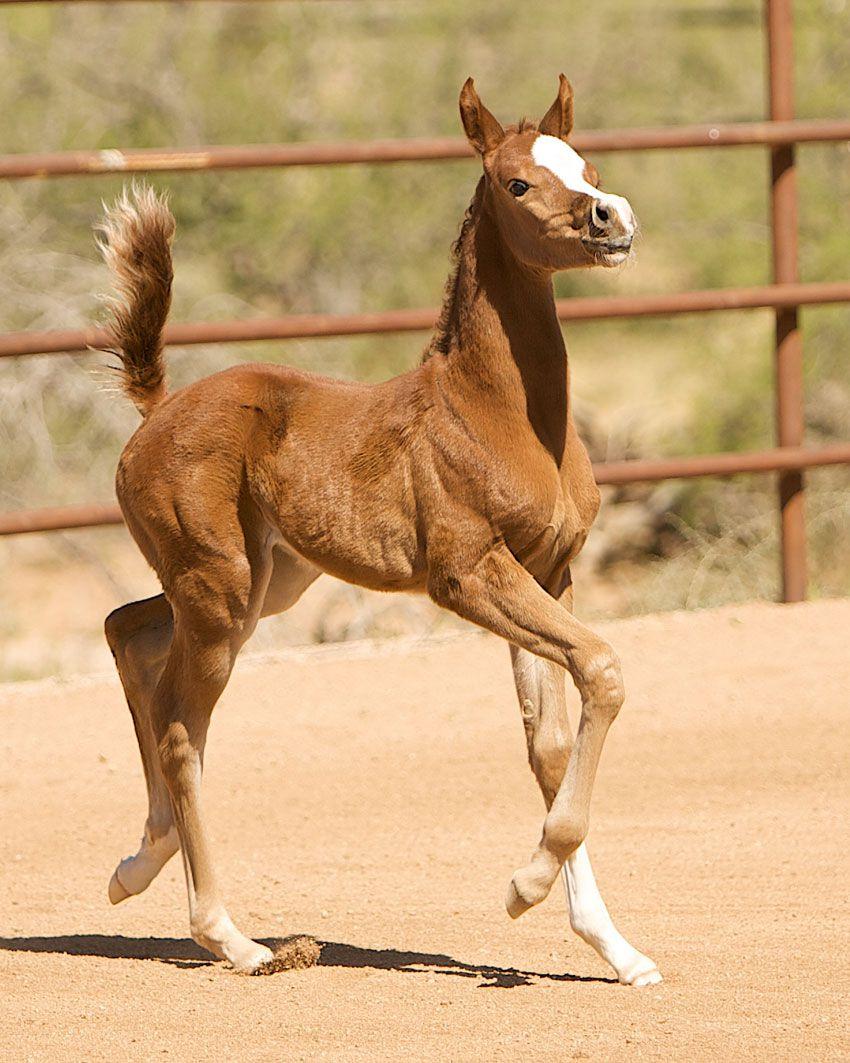 Буденновская лошадь в движении