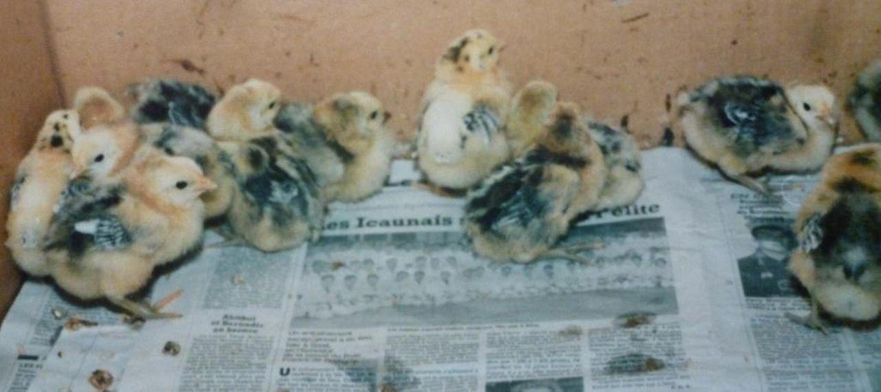 Бресс Галльские цыплята серые при рождении.