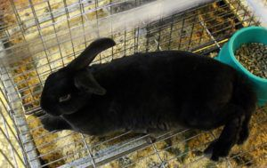 Черно-бурый кролик очень ценится мехозаготовительными предприятиями