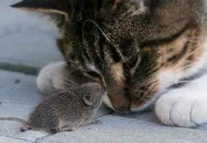 Возможные механические переносчики зудней - кошки и мыши