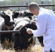 После уничтожения инфицированных животных здоровый скот прививают