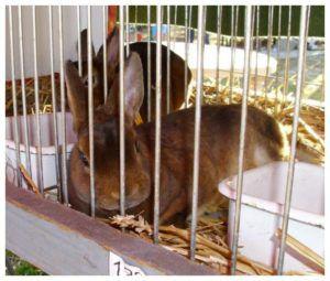 У кормящей крольчихи всегда нужно ставить воду, иначе она загрызёт детёнышей