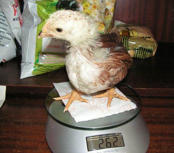 Процесс взвешивания цыпленка