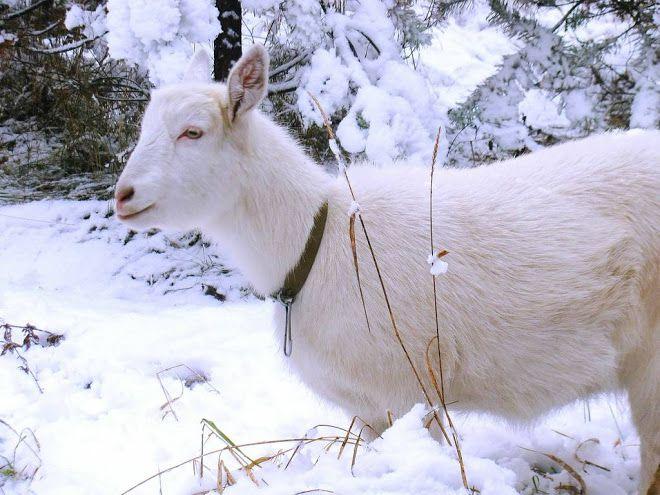 Козы стойко переносят холодный сезон