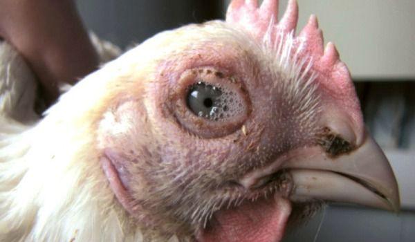При ИЛТ наблюдаются пенистые выделения из глаз и ноздрей