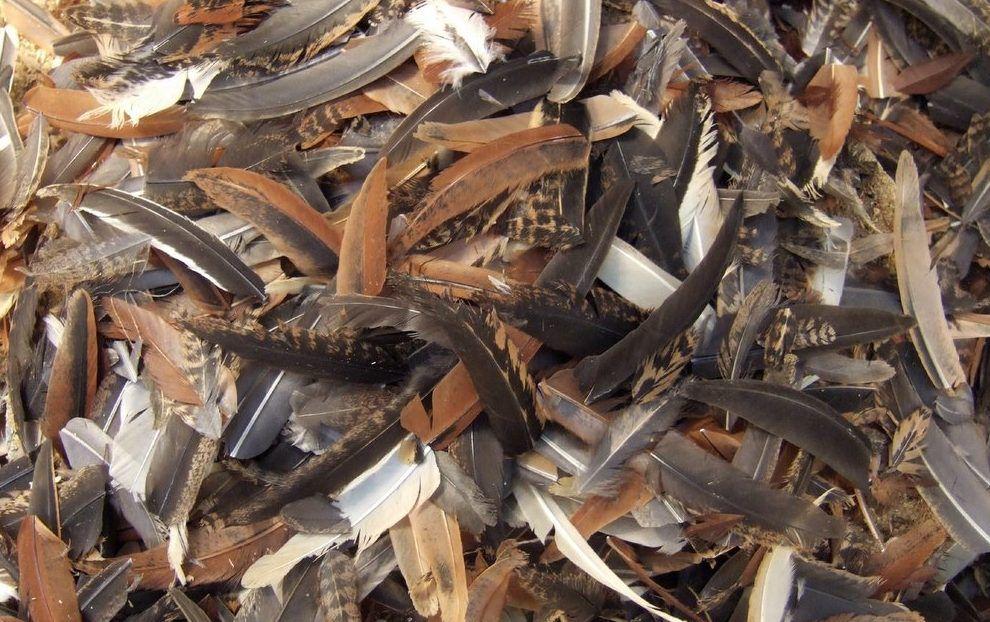 В качестве наживки можно применить перья пернатых: любознательный хищник непременно предпримет попытку подойти ближе и рассмотреть лакомый кусочек