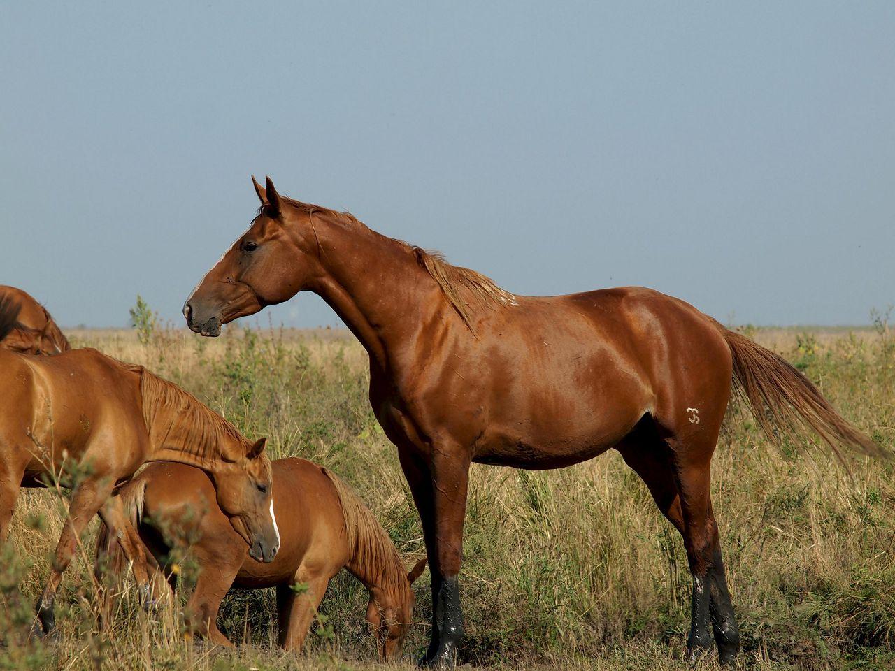 Буденновская лошадь на пастбище