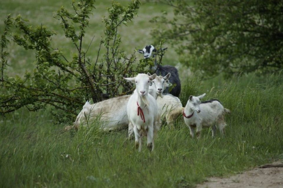 Кормление коз на пастбище