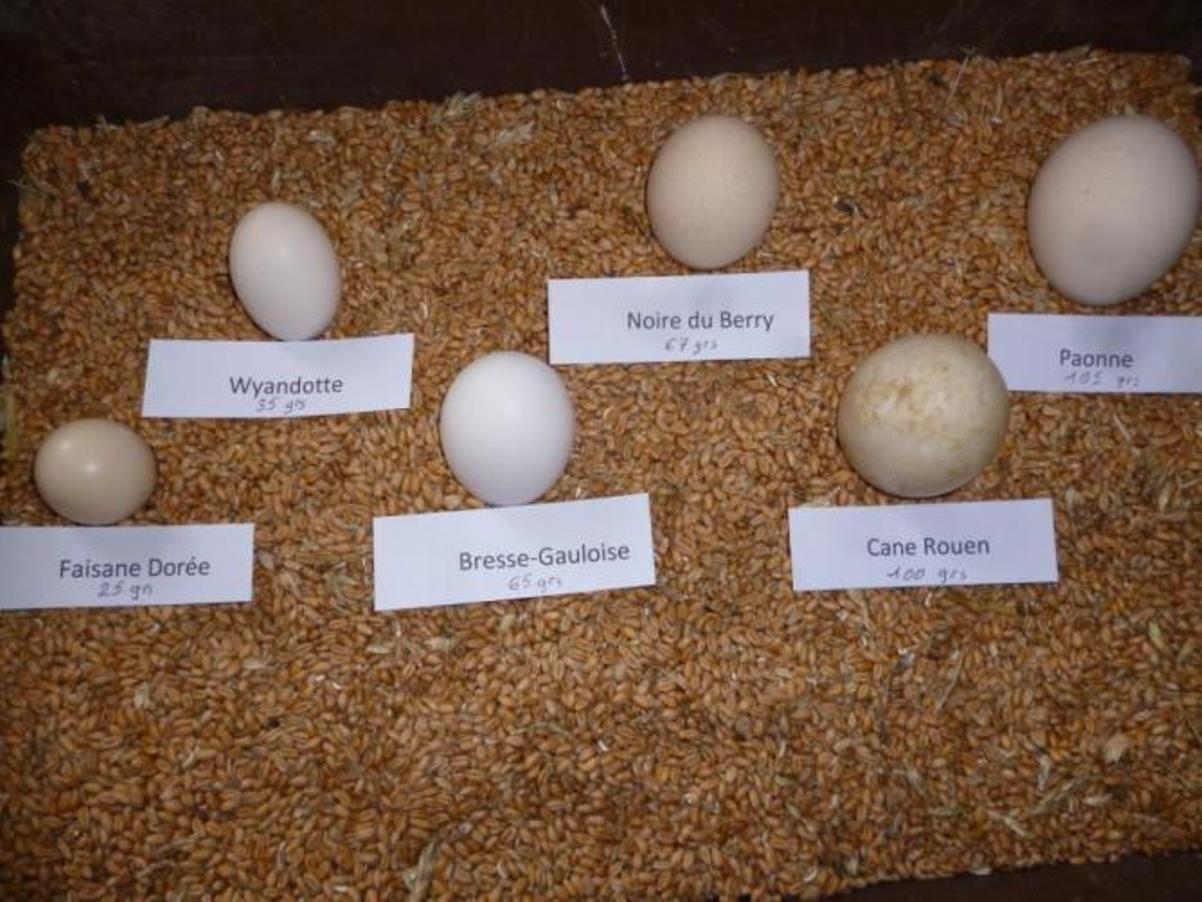 Сравнительные размеры яиц от кур разных французских пород.
