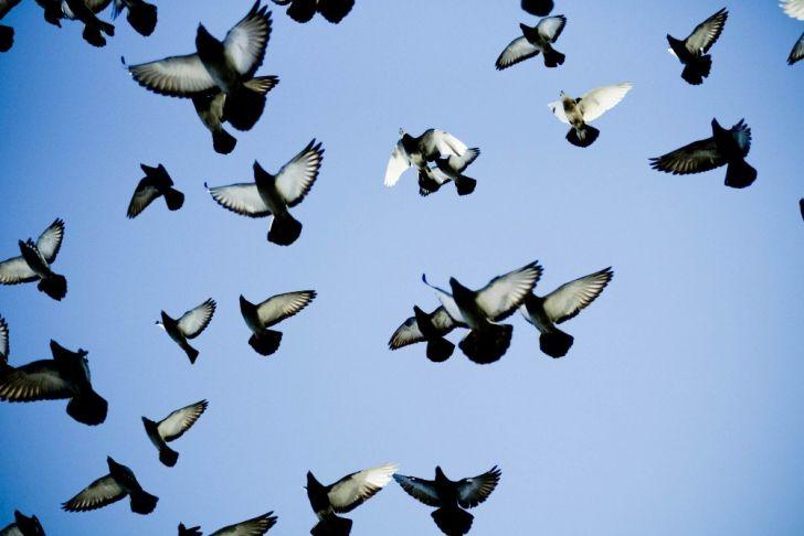 Высоколетные - это отдельный класс голубей, которые обладают превосходными летными характеристиками