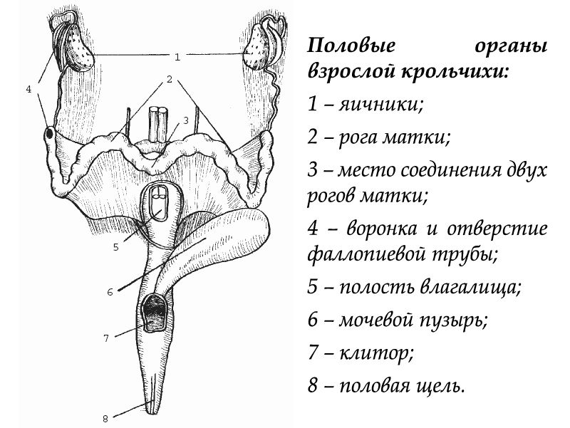 Половые органы взрослой крольчихи