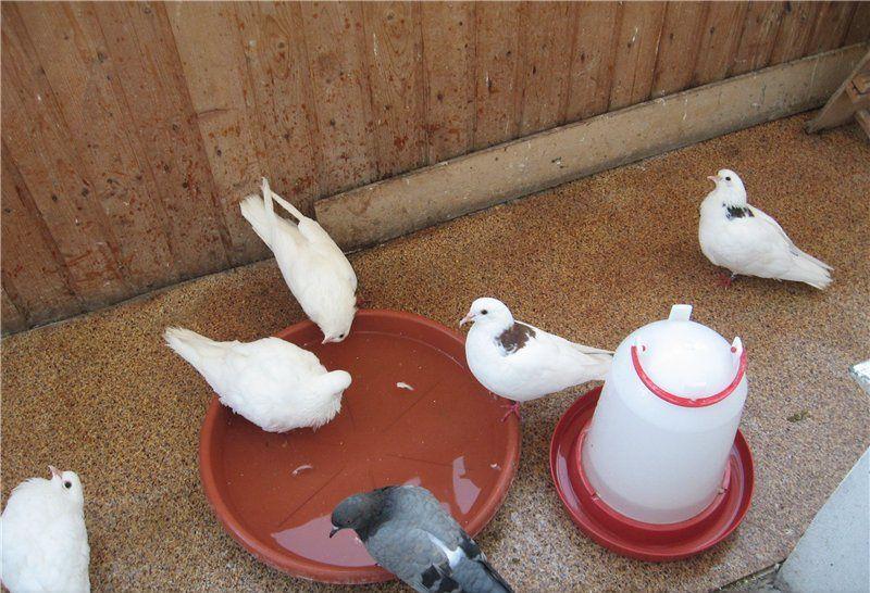 Емкость для купания голубей