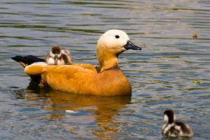 Самка учит своё потомство нырять, плавать и добывать пищу
