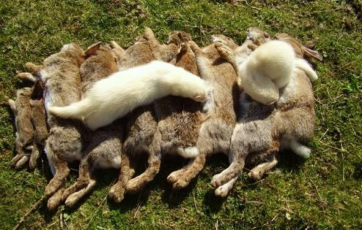 Ласка очень опасна для сельских животных