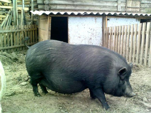 Корейская свинья на ферме
