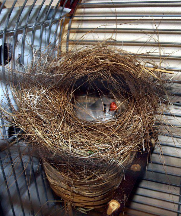 Для спаривания горлинкам необходимы гнезда