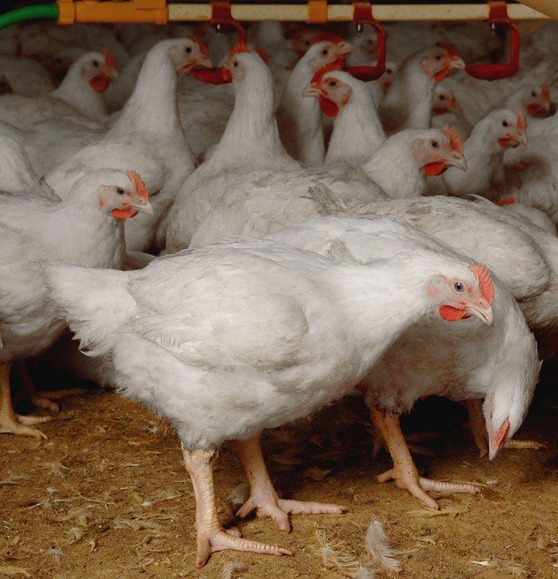 Прежде, чем покупать кур на ферме, изучите обстановку в ней по ИЛТ