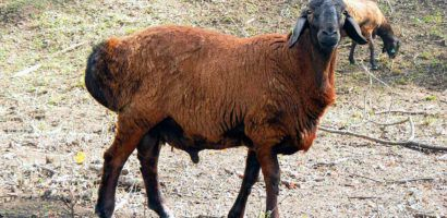 Гиссарские овцы не обладают выдающийся внешностью
