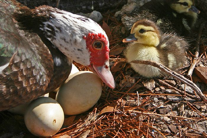 Период яйцекладки у индоуток