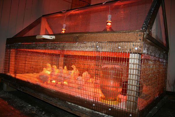 Добротный брудер для цыплят