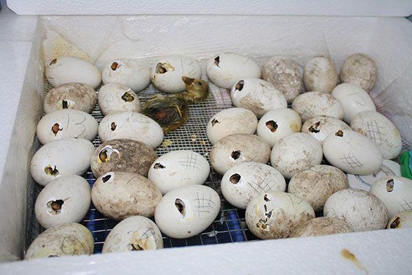 Из камеры птенцов достают только после полной просушки