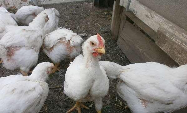 Цыплята мясной породы к 2 месяцам вырастают до 2 кг при правильном кормлении