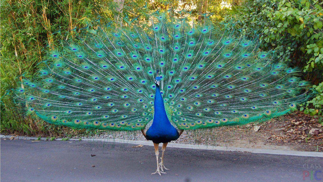 Голуби павлины очень похожи на самих павлинов, из за вертикального хвоста
