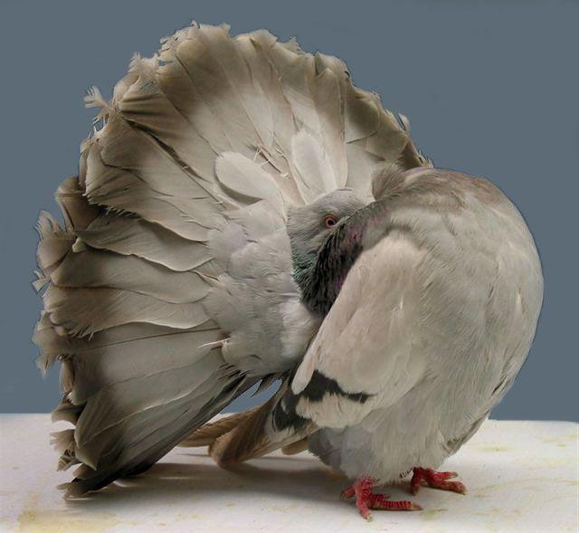 Хвост особо примечателен у данной породы голубей
