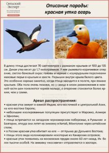 Красная утка (огарь) встречается и в дикой природе