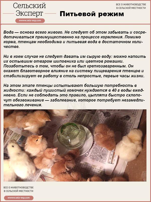 Питьевой режим цыплят