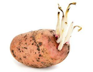 Обычный картофель с ростками может нанести вред свинье