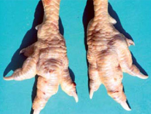 Опухшие суставы на ногах признак пастереллеза