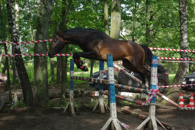 Голштинская порода лошадей считается лучше породой в соревновании конкур