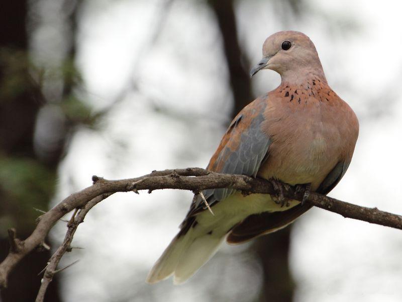 Горлица привлекательная птица не требующая особого ухода