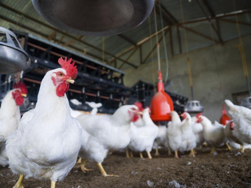 Цыплята бройлеры – выращивание в домашних условиях. Содержание, кормление