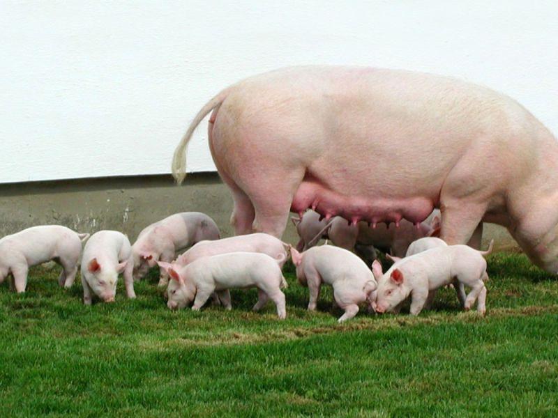 Кормление свиней типы кормления