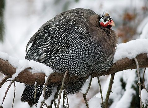 Цесарки легко переносят зиму