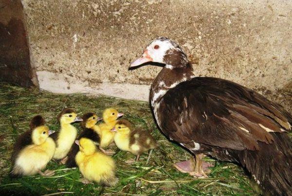 Следует ограничить доступ других птенцов к наседке