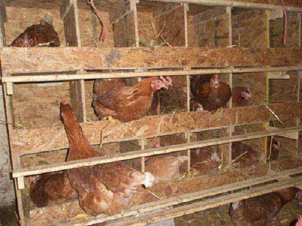 Оптимальное количество гнезд – одно гнездо на пять кур-несушек