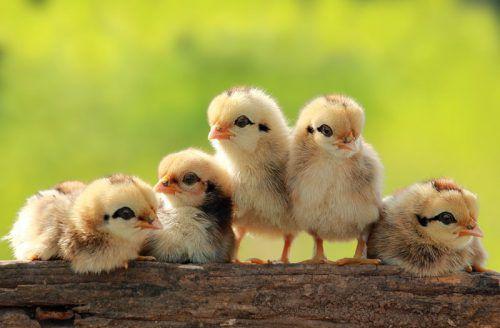 Кормление цыплят - чем и как кормить вылупившихся, суточных и в первые дни жизни цыплят в домашних условиях, видео