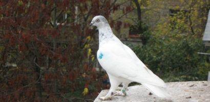 Порода венгерских голубей, одна из немногих включившая в себя и декоративные, и летные качества птиц