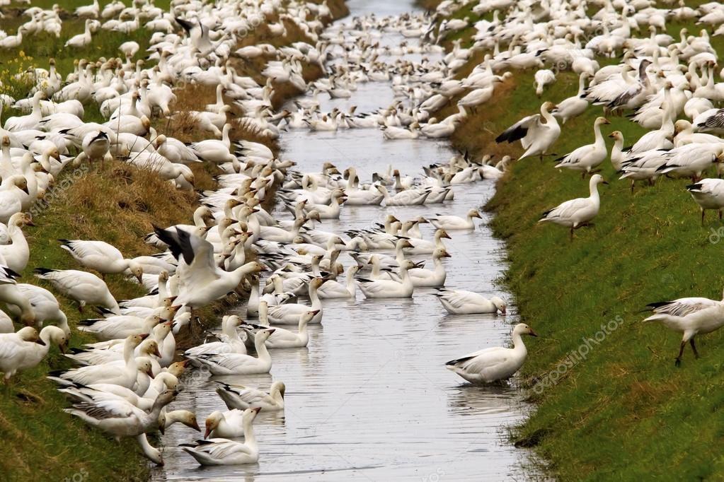 Близость воды благоприятно влияет на гусей