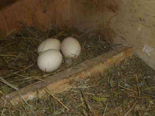 Определиться с местом кладки индоутке может помочь подложенное яйцо