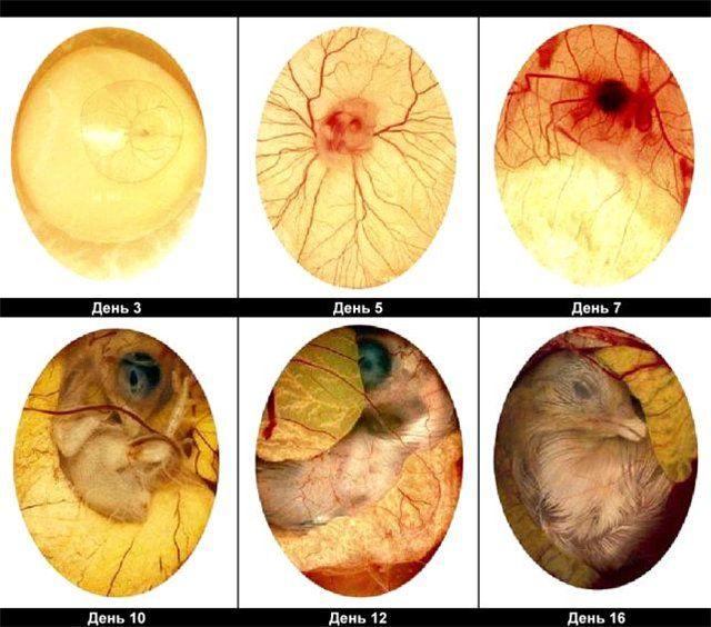 Рост эмбриона по дням