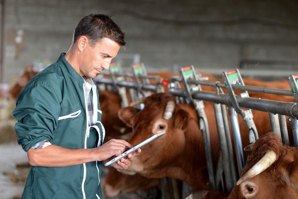 Необходим регулярный осмотр стада на признаки повреждения наружных половых органов