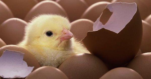 На 22-й день из яиц появляются цыплята