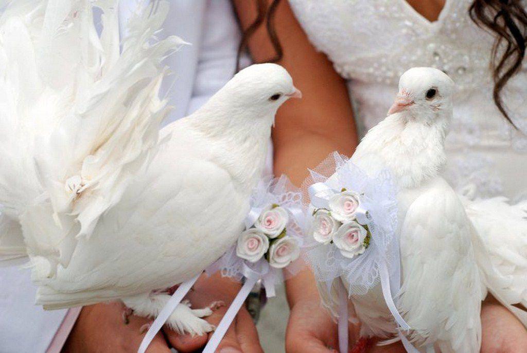 Голубей павлинов часто можно встретить на свадьбе, в руках молодоженов